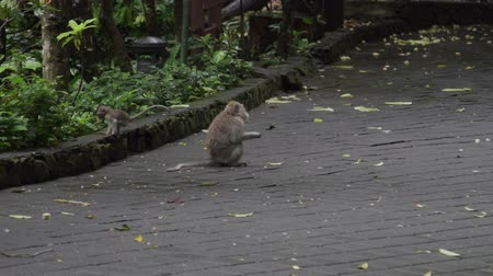 crab eating macaque : Monkeys sitting on floor and eating in Monkey Forest Bali Indonesia