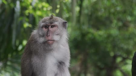 crab eating macaque : Monkey scratching his nose in Monkey Forest Bali Indonesia