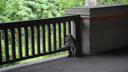 crab eating macaque : Monkey is bored and sad in Monkey Forest Ubud Bali Stock Footage