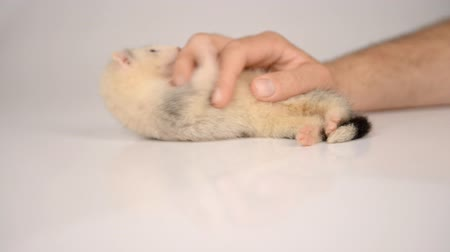 drápy : small gray puppy ferret playing with human hand