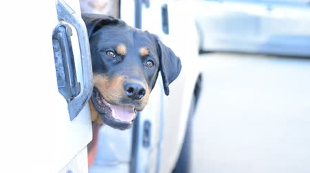 rescue dog : Rottweiler dog muzzle in a car Stock Footage
