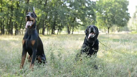 large breed dog : two dogs black labrador retriever and doberman sitting in the natural park