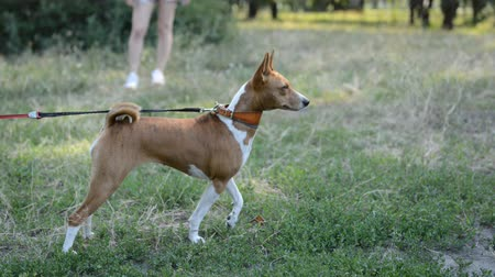 large breed dog : Basenji African dog breed playing in the natural park with leash