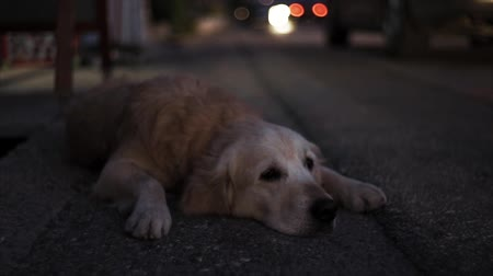 Dog lies on the City Road evening