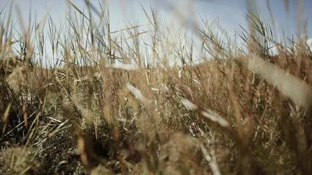 Wheat spikes at sunset Stock Footage