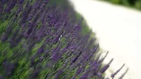 closeup of Lavanda flowers during