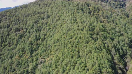 Panorama view aerial drone of coniferous pine forest in early autumn season in Taichung, Taiwan with mountain range in background and countryside. 4K.