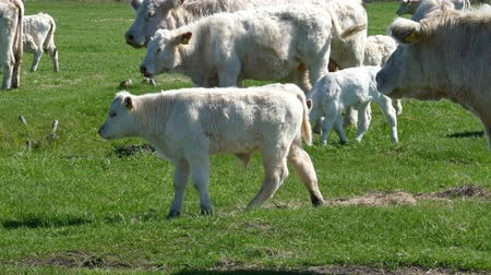 might : Herd of white catle. Sunny spring day