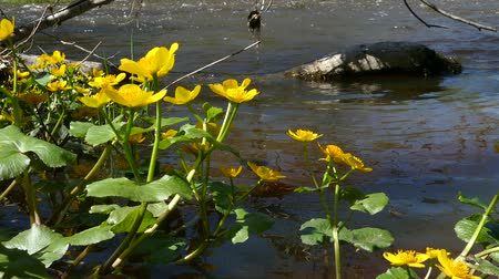 marigolds : Kingcup Marsh-marigold (Caltha palustris) with yellow blossom in a river stream Caltha palustris