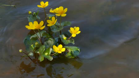 Kingcup Marsh-marigold (Caltha palustris) with yellow blossom in a river stream Caltha palustris