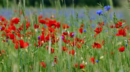 chabry : Blooming Red poppy and blue cornflowers flowers in green agriculture field Wideo