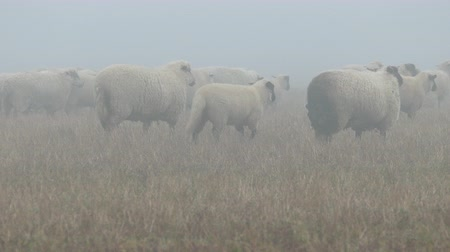 ewe : Large flock of sheeps feeding on foggy field Stock Footage