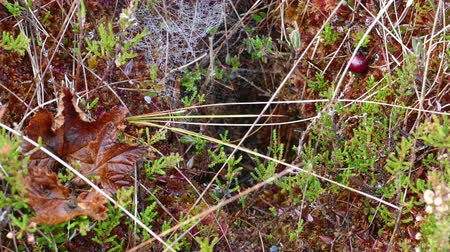 inculto : Close-up of bog vegetation and spider web Stock Footage