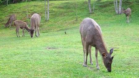jelen : deers on grass field in national park, Thailand Wideo