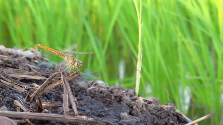 cauda : dragonfly on the green rice field