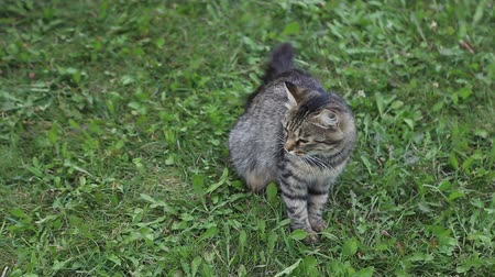 prowl : Grey stripy cat sits on green grass