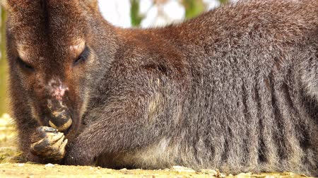 bennett's : Wallaby is lying on its side and getting ready for rest.