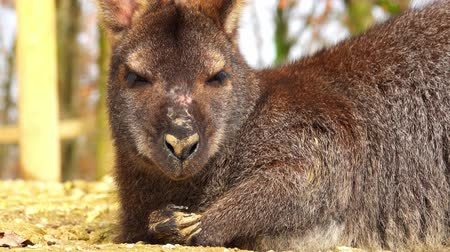 bennett's : The lying wallaby sleeps and covers the eyes.