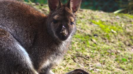 avustralyalı : Wallaby sits and looks directly into the camera.