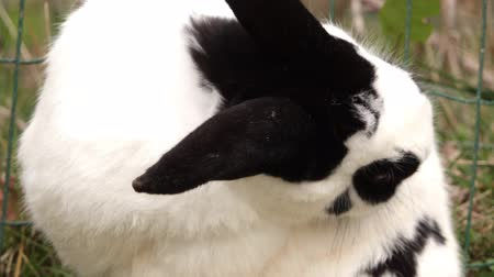 como : A black and white rabbit cleans its coat. Close-up.