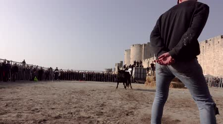 bullfight : Breed of the bull in the arena. Volunteers from the audience tease the bull and shy away from the attack.Tradition of Camargue, France. Free event.