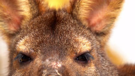 bennett's wallaby : Eyes wallaby looking straight into the camera. Stock Footage