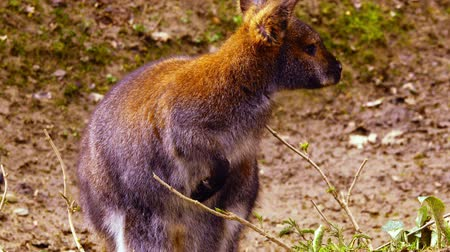 bennett's wallaby : Wallaby is looking for food in the green grass. Stock Footage