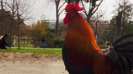 free range : Portrait of beautiful rooster Stock Footage
