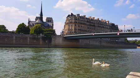 White swans on the river Seine in Paris . Стоковые видеозаписи