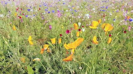 The field is covered with different colors flower Stock Footage