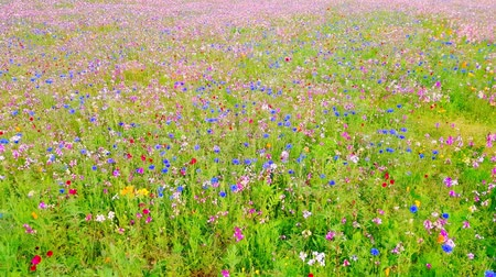The field is covered with different colors flower . Стоковые видеозаписи