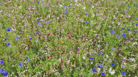 The field is covered with different colors flower . Stock Footage