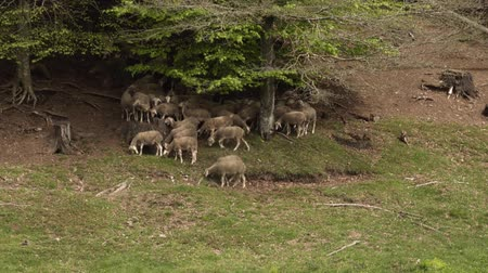 Sheep graze on the hillside .