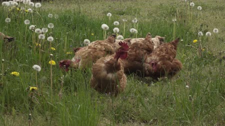 Chickens with a bare neck. Stock Footage