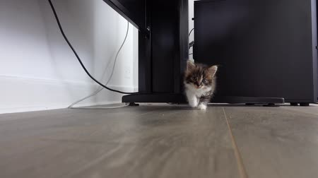 The gray kitten approaches the camera with curiosity and desire to play.