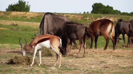 Springbok, Antidorcas marsupialis, Gazelle and Black tailed Wildebeest