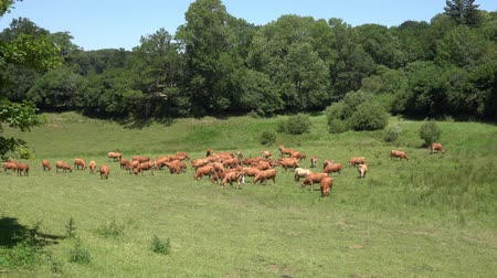 Red cows graze on lush