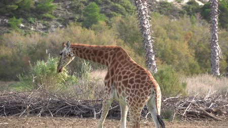 giraffe walks through the dry grass between the trees ..