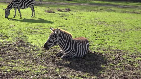 câmara : The zebra is lying on the grass and moving its ears .. Stock Footage
