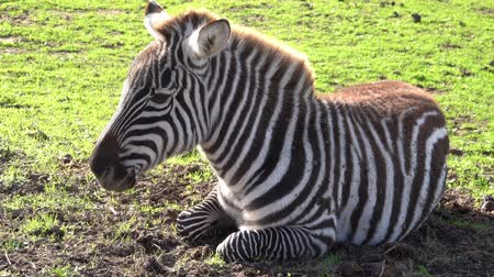 The zebra is lying on the grass and moving its ears .. Стоковые видеозаписи