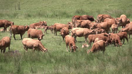 Red cows graze on lush green pasture. Стоковые видеозаписи