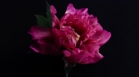 Peony flower is revealed time lapse. Stock Footage