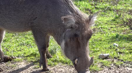 The common warthog (Phacochoerus africanus) eats grass on the ground