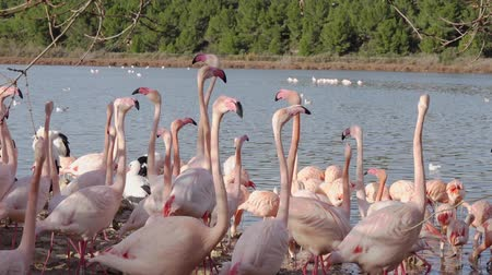 szegecs : A flock of pink flamingos on the shore near the water. Birds move excitedly and spread their wings.