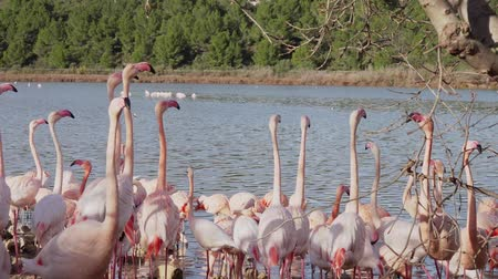 A flock of pink flamingos on the shore near the water. Birds move excitedly and spread their wings.