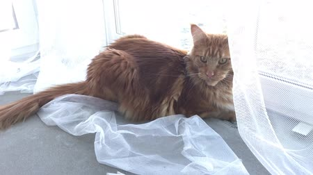 coon : A large red marble Maine-coon cat lies by the window behind a white tulle curtain and looks around. The camera moves in an arc, approaching the cat Stock Footage