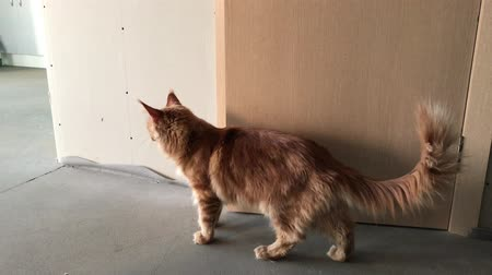 coon : A large red-marbled Maine Coon cat looks around on the sides near a wooden door and walks toward the camera, swinging a fluffy tail Stock Footage