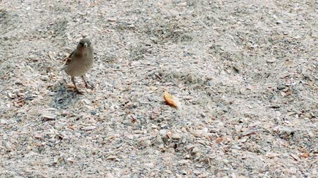 migalhas : little sparrow (bird) eats bread crumbs on the seashore