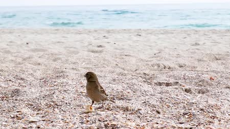 Sparrow eating bread crumbs near the sea Стоковые видеозаписи
