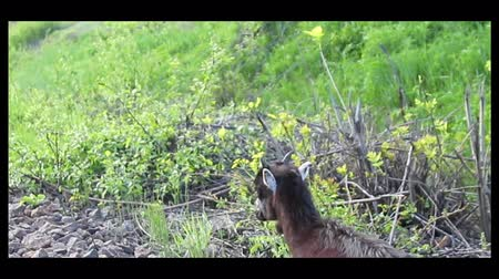 Little goats graze in the meadow. Baby goat grazing in a meadow along the railway. Stock Footage